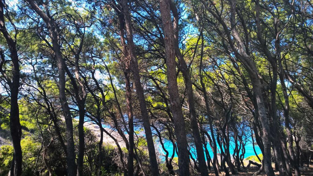 Isole Tremiti pineta 2