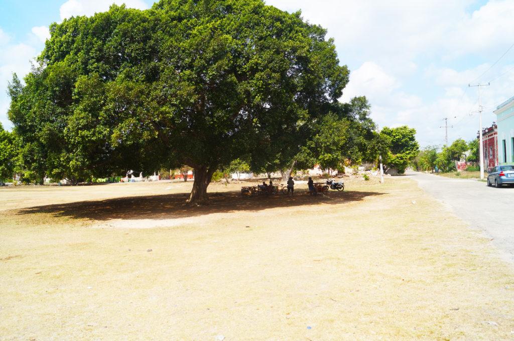 L'albero davanti all'azienda Yaxcopoil