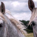 due cavalli spagnoli